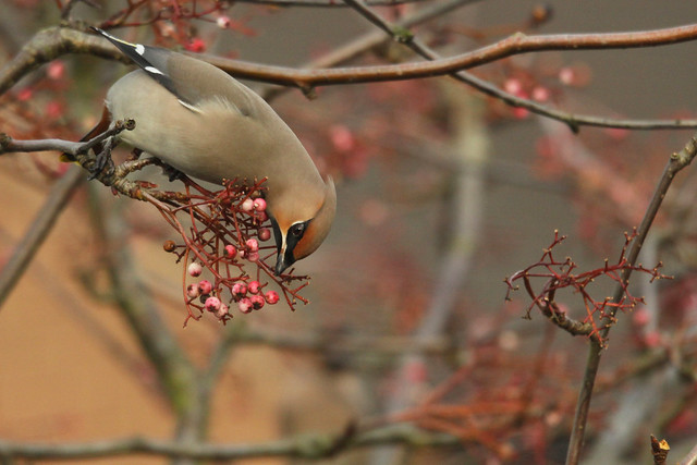 Waxwing- Bird of the Berry