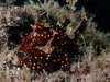 Clown frogfish juvenile-9229