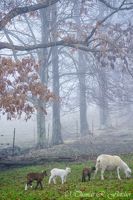 Winter Lambs Foggy Day