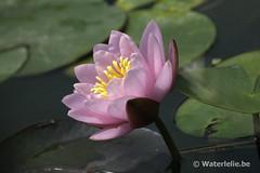 Waterlelie Norma Gedye DSC_6059