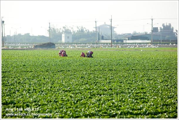 生菜田參觀 (5)-農婦施肥
