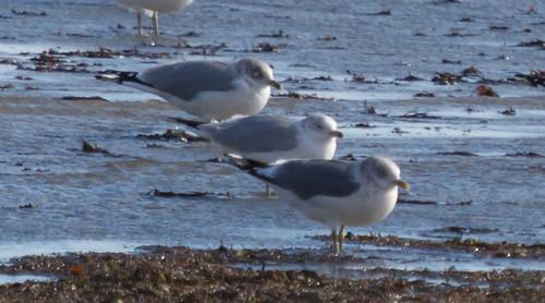 Gull lineup