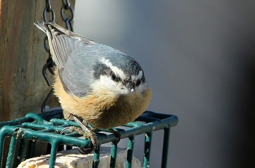 Red-breasted Nuthatch by Karen Bonsell