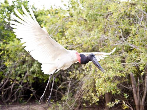 Jabiru - in flight