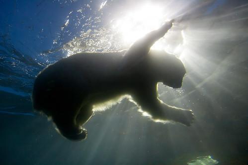[フリー画像素材] 動物 (哺乳類), 熊・クマ, ホッキョクグマ・シロクマ ID:201302061000