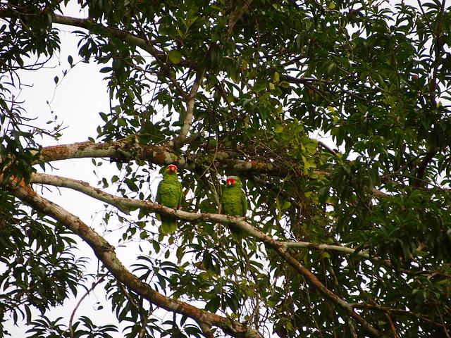 Parrots at Tikal, Guatemala