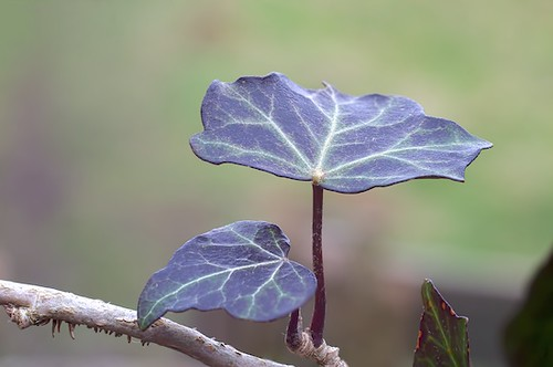 Ivy Leaves: Photo Stacking Example