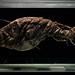 Angler Fish by alkanphel