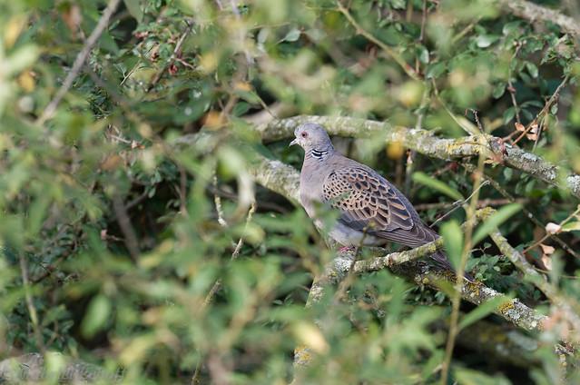 Tourterelle des bois-Streptopelia turtur - European Turtle Dove 5075.jpg