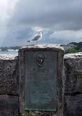 Niagara Falls - Sea Gull