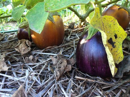 Eggplants 3