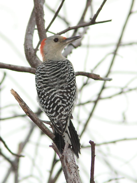 Red-bellied Woodpecker 20121014