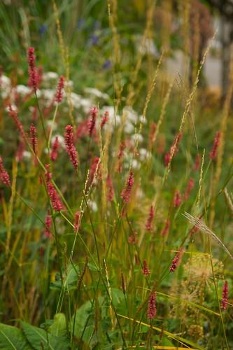 persicaria firetail  2270