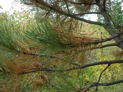 Fall needle cast is natural for many conifers, including ponderosa pine. The trees shed their oldest leaves each fall, but the leaves at the branch tips remain green.  Pine trees that lose their newer leaves at the branch tips may be stressed or diseased. Photo by Jill Welborn.