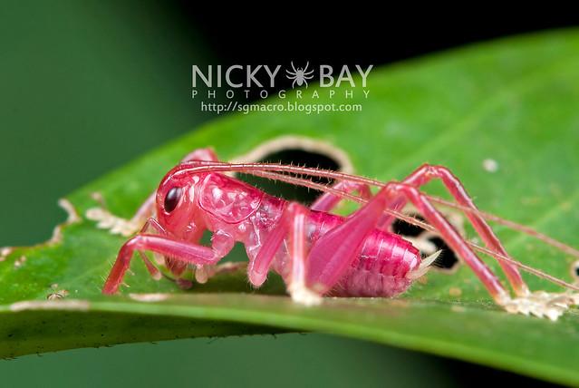 Pink Katydid (Tettigoniidae) - DSC_3233
