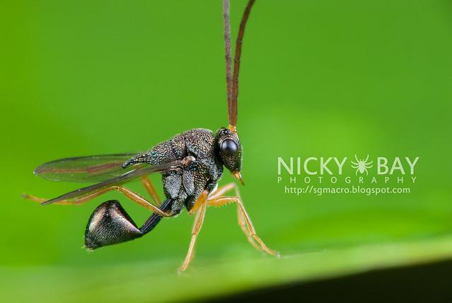 Eucharitid Wasp (Eucharitidae) - DSC_1632