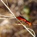 Small photo of BRACONIDAE. Genus Atanycolus