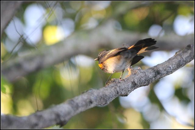 Header of American Redstart