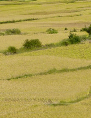 tall paddy fields