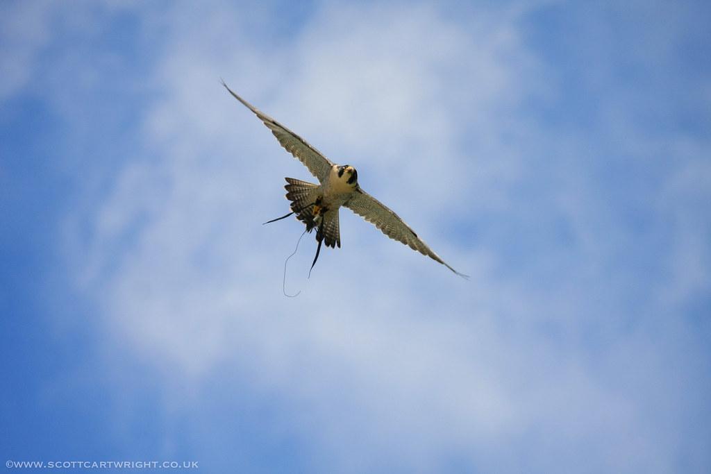 Merlin Falcon In Flight