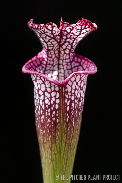Sarracenia lecuophylla
