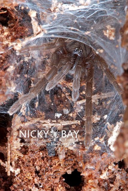 Tarantula (Phlogiellus sp.) - DSC_9761