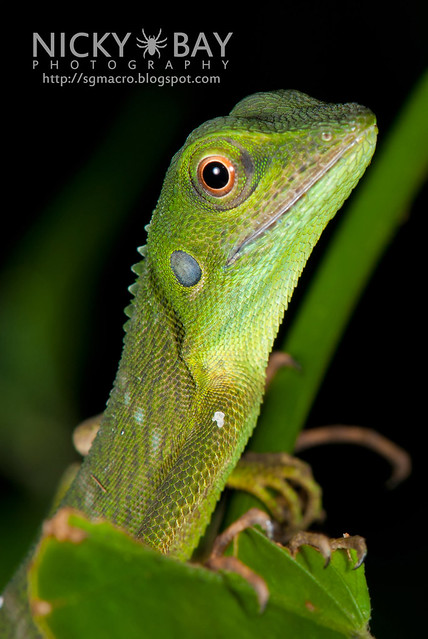 Green Crested Lizard (Bronchocela cristatella) - DSC_9383