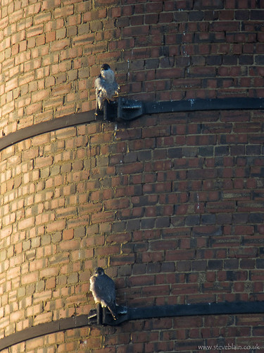 Peregrines at Stewartby