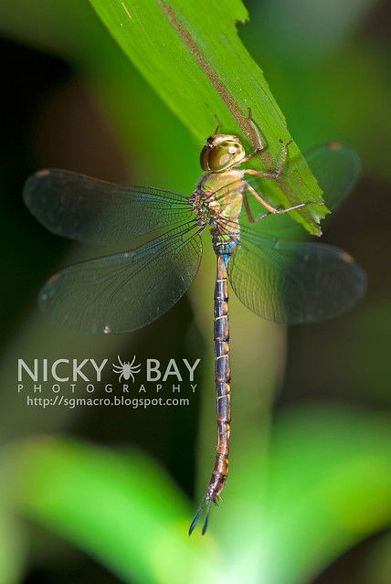 Dragonfly (Anisoptera) - DSC_8975