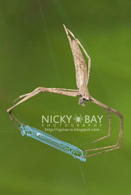 Net-Casting Spider (Deinopidae) - DSC_8570