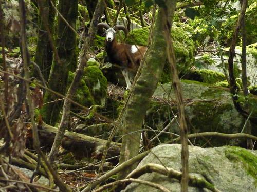 Au Valdu Grande : un mouflon mâle surpris à 15m
