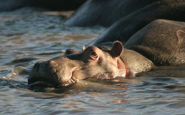 Hippo seen on Hippo tour in iSimangaliso Wetland Park, South Africa