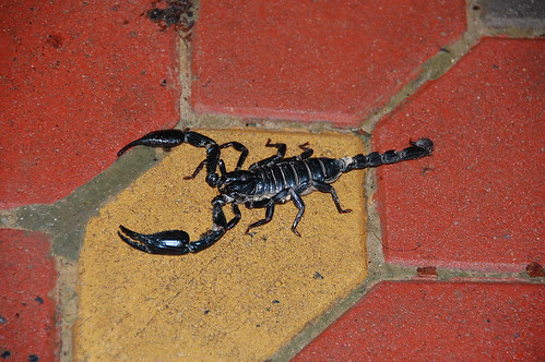 A large black scorpion on red brick in Thailand