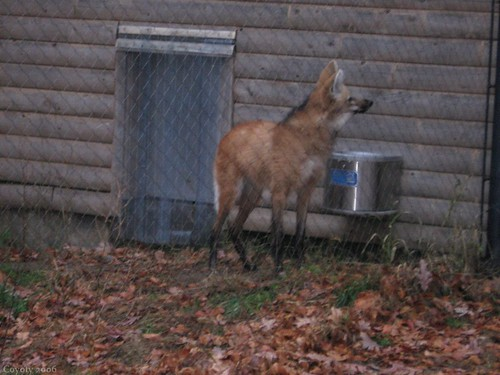 Maned wolf (8th of 8 photos) by Coyoty