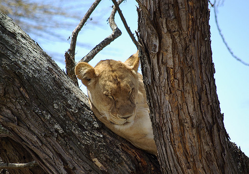 Sleeping Lioness up a tree in Kenya