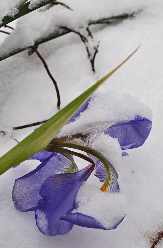 Iris in Snow