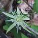 Passiflora capsularis - Passifloraceae