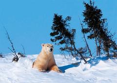 北極熊媽媽重見天日