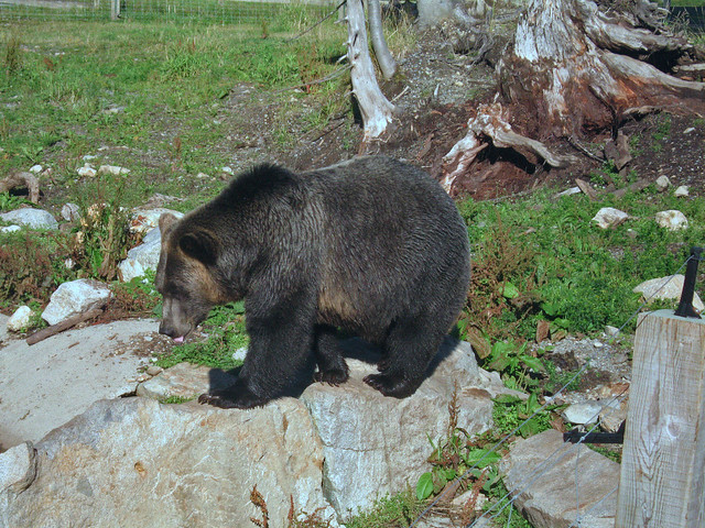 Brown bear on Grouse, Canon DIGITAL IXUS 750