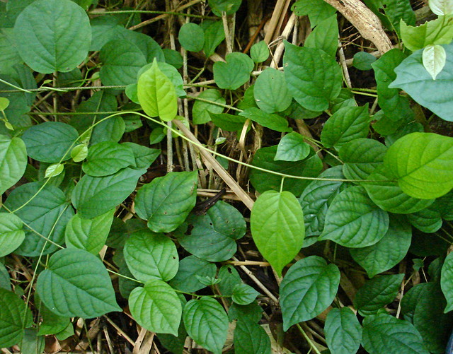 Tinospora cordifolia | Flickr - Photo Sharing!