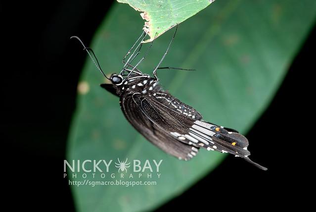 Common Mormon (Papilio polytes romulus) - DSC_8570