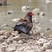 Small photo of Bateleur (Terathopius ecaudatus)