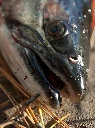 Salmon Face (Dead)