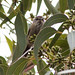 Small photo of Striated Thornbill (Acanthiza lineata)