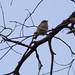 Small photo of Yellow Thornbill ()Acanthiza nana