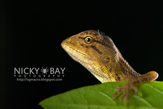Changeable Lizard (Calotes versicolor) - DSC_7832
