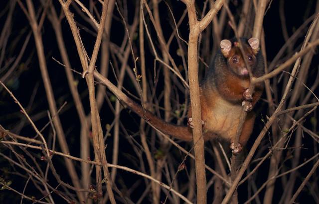 treepossum2