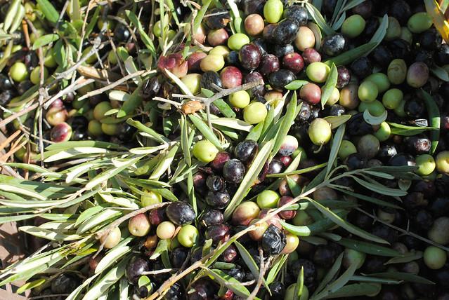 olive picking 6