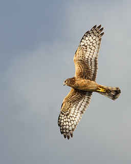 Northern Harrier Female IF