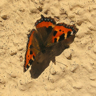Fuji FinePix S5800-S800.Super Macro.On the Cottage Wall,Sunbathing Small Tortoiseshell Butterfly.October 16th 2012.